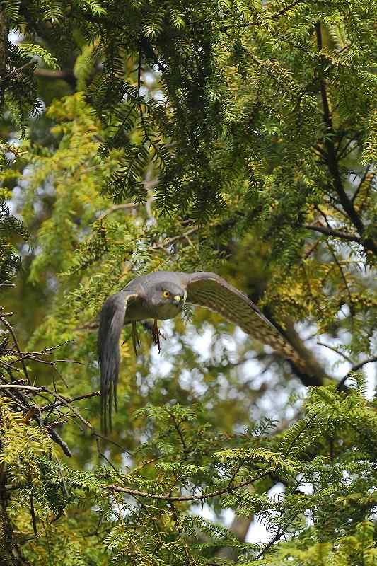 巣作りがいそがしいツミの番_f0044056_8185254.jpg