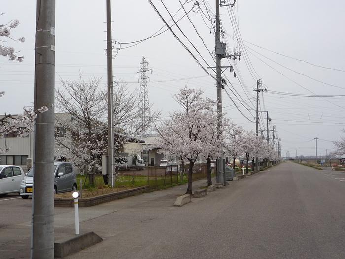 満開の桜に囲まれた当社です。_e0232077_1464034.jpg