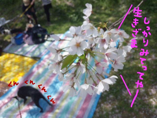5ボステリと宴を★幸手市権現堂公園_d0187891_11543240.jpg