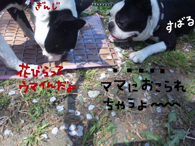 5ボステリと宴を★幸手市権現堂公園_d0187891_1157896.jpg