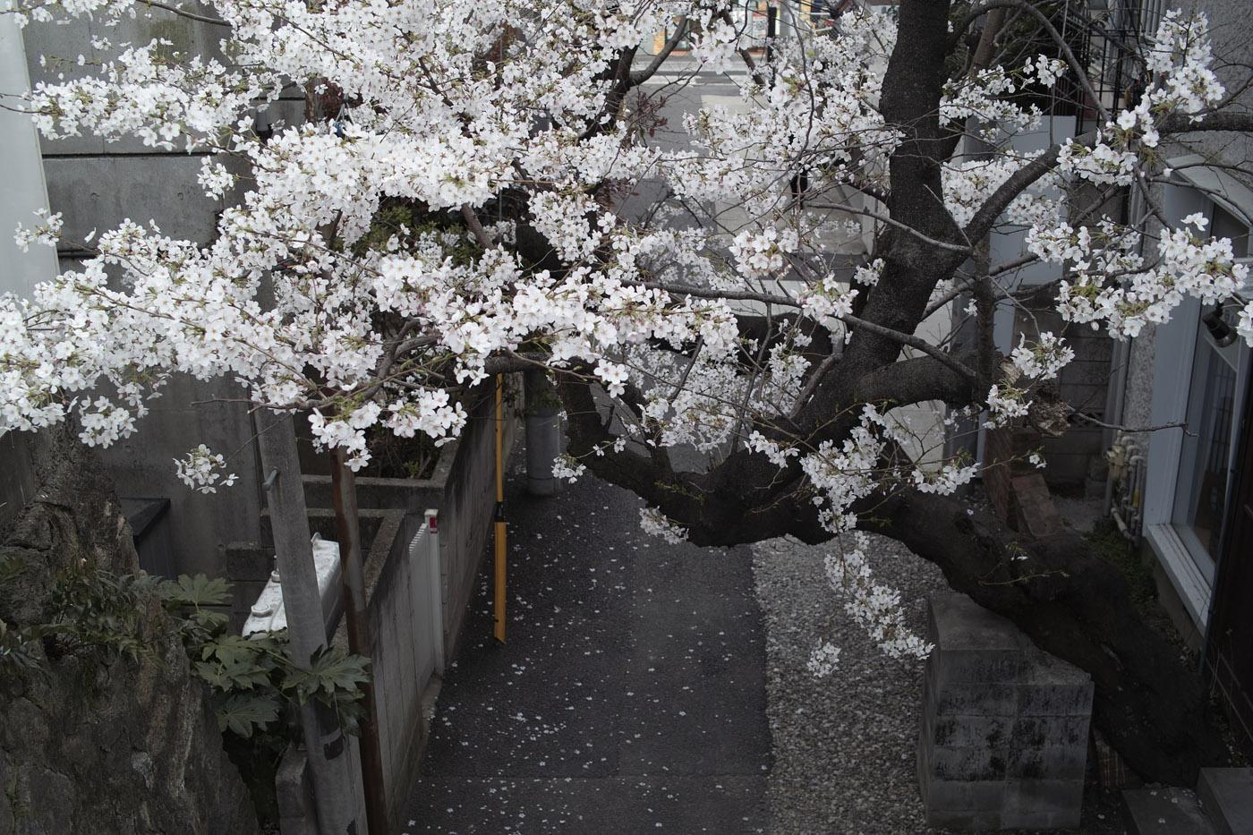 2011、六本木の桜、その3。_c0120903_2292617.jpg