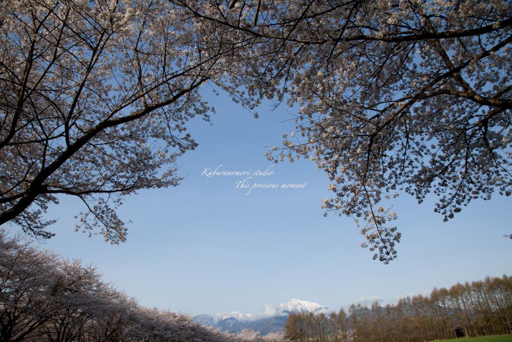 八ケ岳にも桜の季節がやって来ましたね_c0137403_10311388.jpg