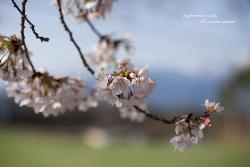 八ケ岳にも桜の季節がやって来ましたね_c0137403_1034711.jpg