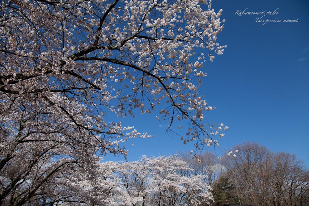 八ケ岳にも桜の季節がやって来ましたね_c0137403_9544099.jpg