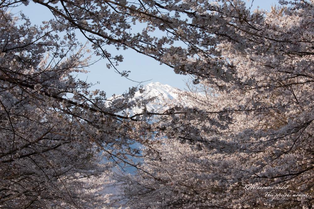 八ケ岳にも桜の季節がやって来ましたね_c0137403_9565341.jpg