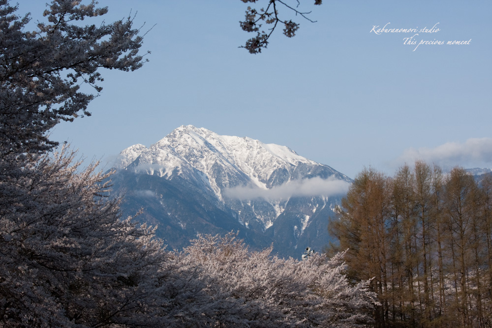 八ケ岳にも桜の季節がやって来ましたね_c0137403_957432.jpg