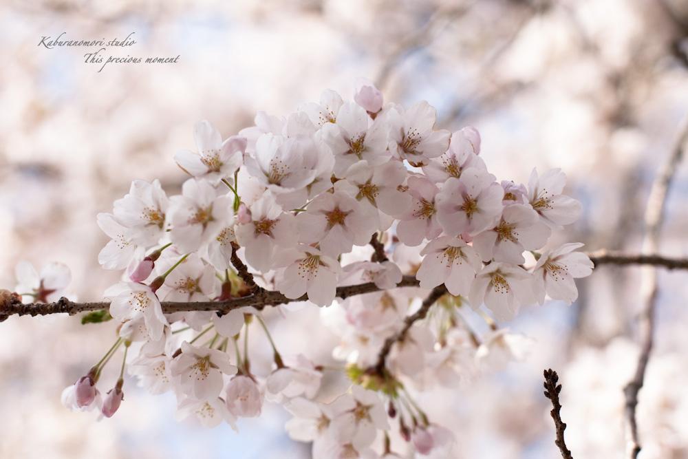 八ケ岳にも桜の季節がやって来ましたね_c0137403_9582392.jpg
