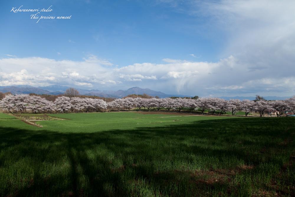 八ケ岳にも桜の季節がやって来ましたね_c0137403_9592629.jpg