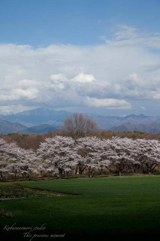 八ケ岳にも桜の季節がやって来ましたね_c0137403_9595513.jpg