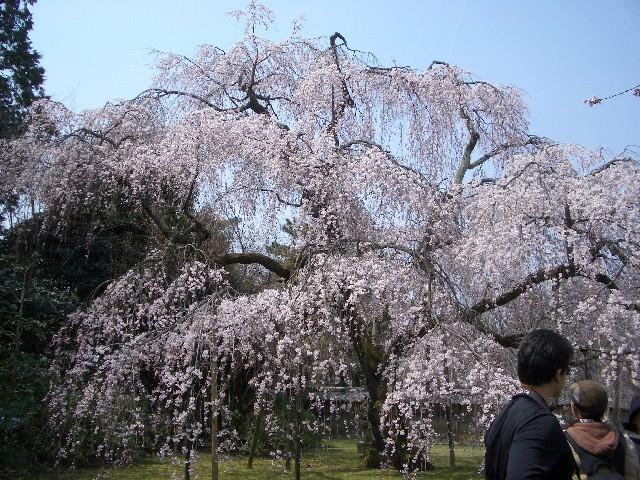 京都花見旅行3_a0047004_14312652.jpg