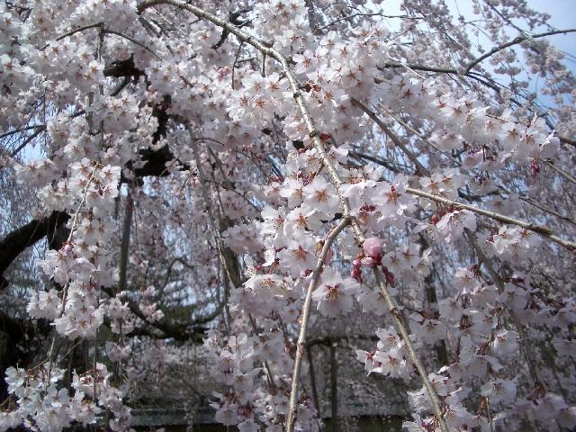 京都花見旅行3_a0047004_14402587.jpg