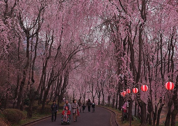 """""""しだれ桜の並木道""""NO.1_a0140608_7124260.jpg"""
