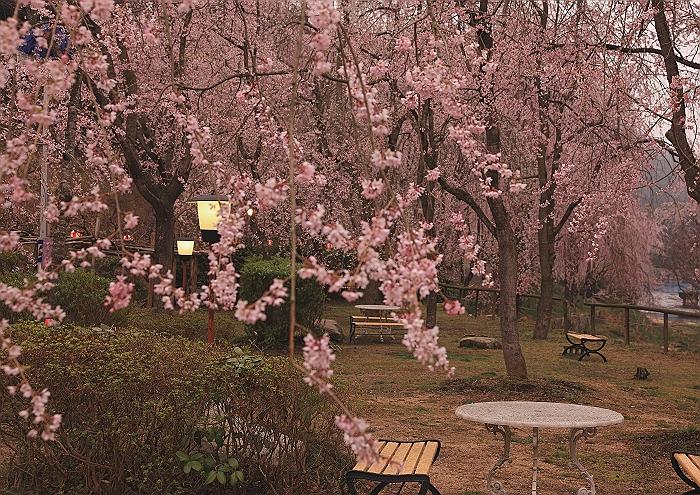 """""""しだれ桜の並木道""""NO.1_a0140608_713387.jpg"""
