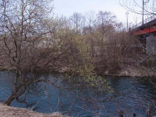 2011年4月23日(土):標津川ではヤナギが開花_e0062415_1343321.jpg