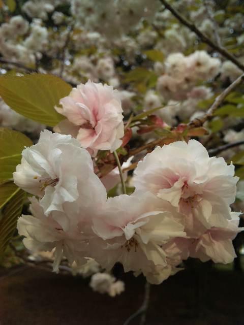 朝の桜_a0103940_044284.jpg