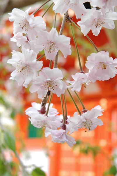 お花見さんぽ_b0016049_16525049.jpg