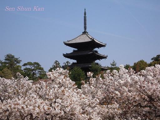 御室の桜_a0164068_14522662.jpg