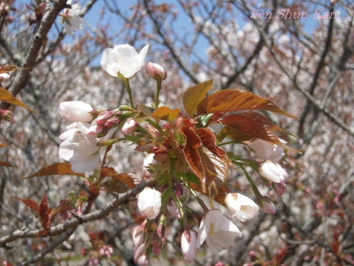 御室の桜_a0164068_14525072.jpg