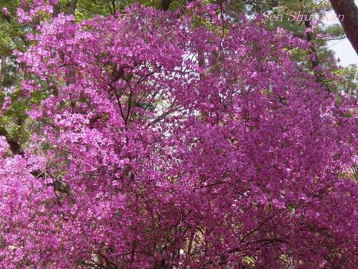 御室の桜_a0164068_14554021.jpg