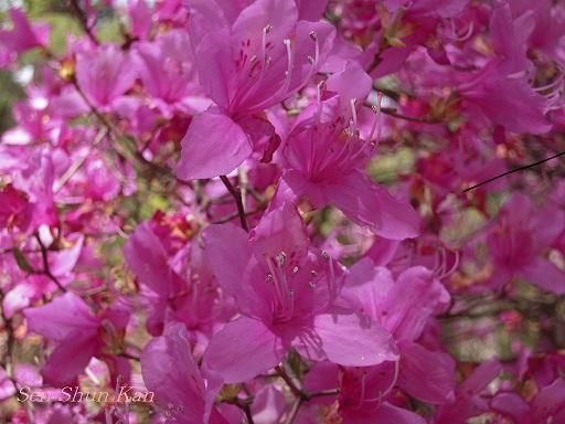 御室の桜_a0164068_1456249.jpg