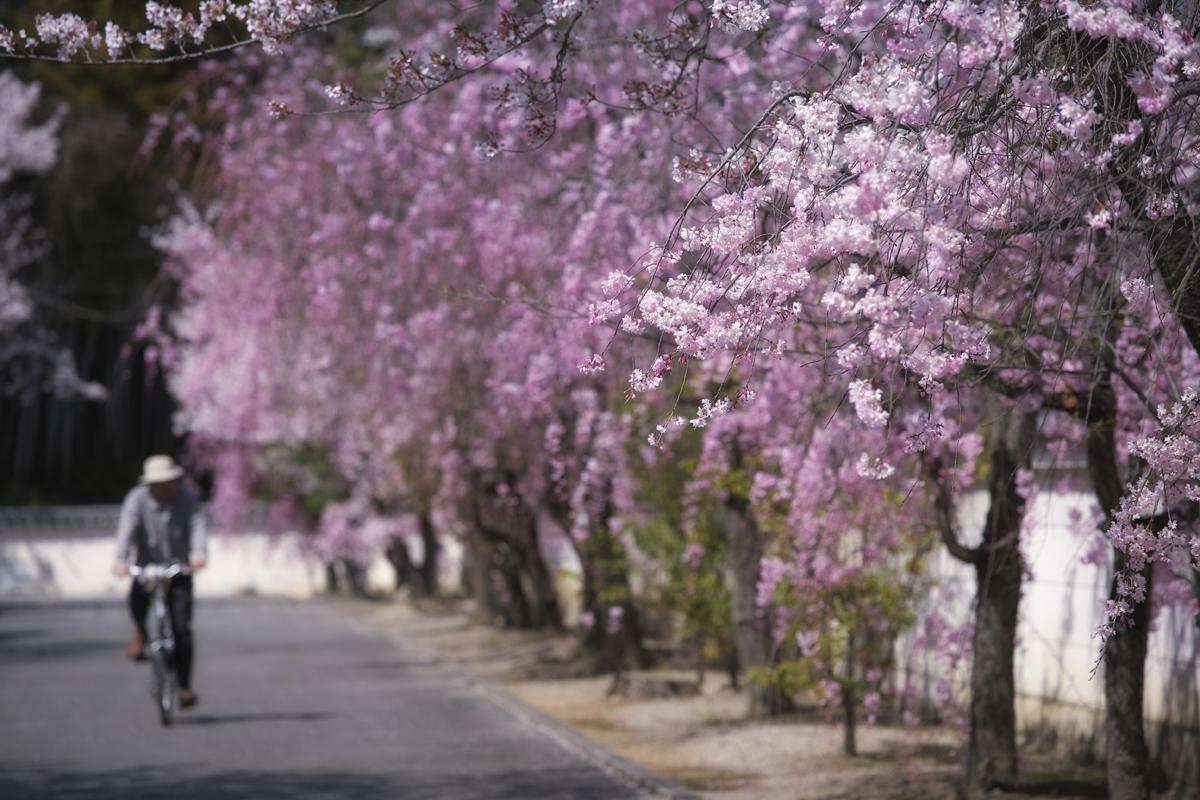 桜 2011 京都 <観修寺>_f0021869_001628.jpg
