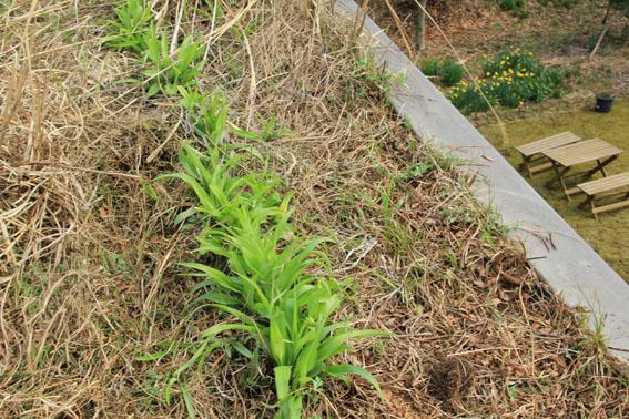 アトリエの22日の芝置屋根の草花_e0054299_1603180.jpg