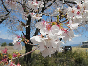 やっと桜が咲きました_a0183304_1472091.jpg