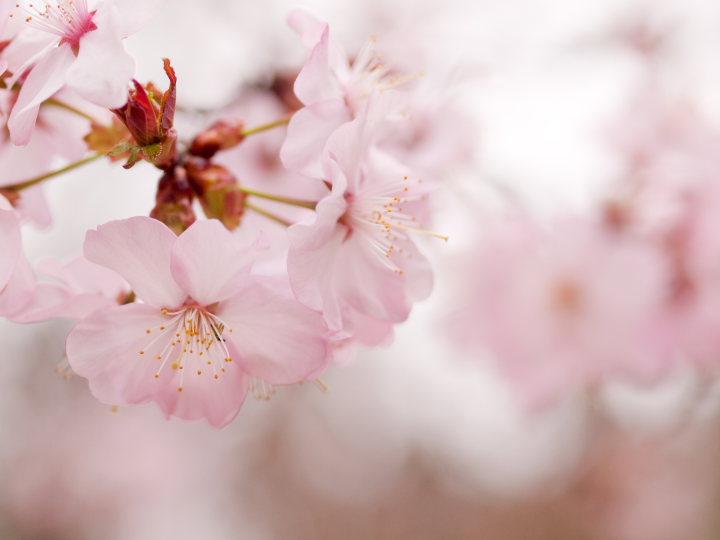 桜_e0169421_21474375.jpg