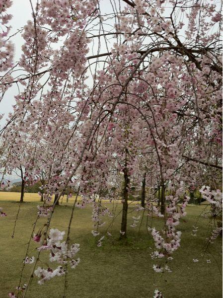 しだれ桜_c0110051_8101310.jpg