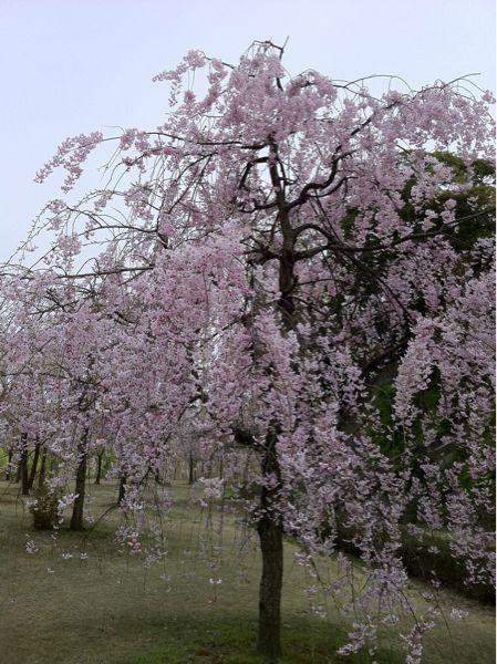 しだれ桜_c0110051_8101479.jpg