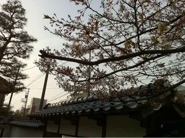しだれ桜_c0110051_8101551.jpg