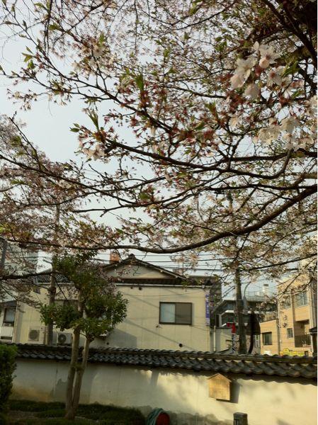 しだれ桜_c0110051_8101640.jpg