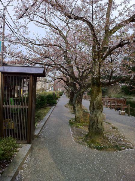 しだれ桜_c0110051_810174.jpg