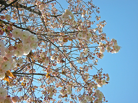 4月24日 八重桜咲く 2011_a0001354_18009.jpg