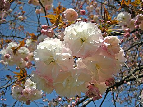 4月24日 八重桜咲く 2011_a0001354_1801899.jpg