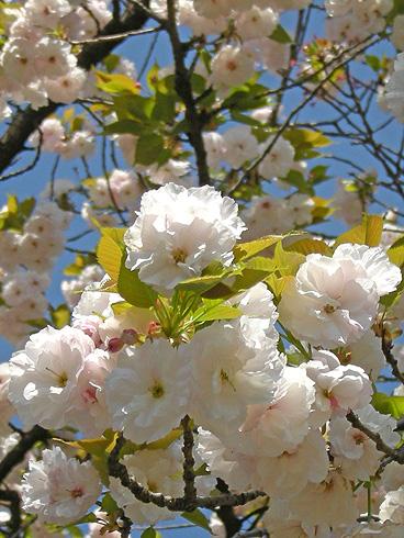 4月24日 八重桜咲く 2011_a0001354_1813222.jpg
