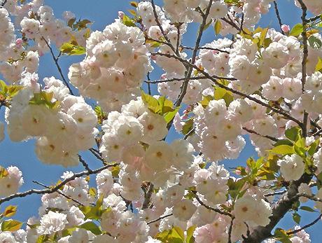 4月24日 八重桜咲く 2011_a0001354_181527.jpg