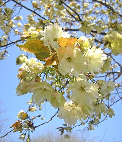 4月24日 八重桜咲く 2011_a0001354_1822269.jpg