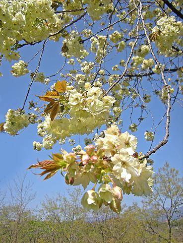 4月24日 八重桜咲く 2011_a0001354_182290.jpg