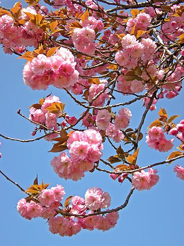4月24日 八重桜咲く 2011_a0001354_1824862.jpg