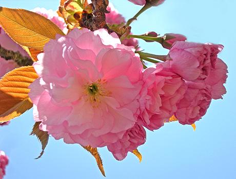 4月24日 八重桜咲く 2011_a0001354_1832215.jpg