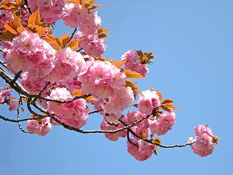 4月24日 八重桜咲く 2011_a0001354_183526.jpg