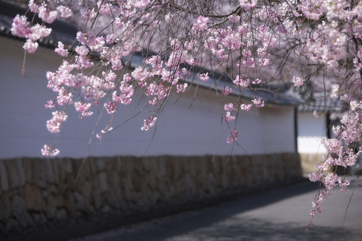 桜 2011 京都 <観修寺>_f0021869_004947.jpg