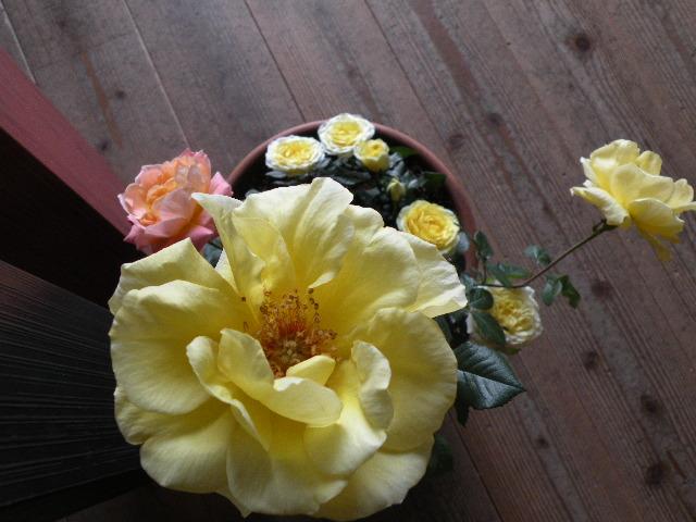 薔薇が咲いた_f0220272_1626323.jpg