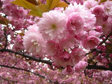 ブルックリン植物園桜祭り 話題のコスプレが登場!_c0050387_1418687.jpg