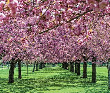 ブルックリン植物園桜祭り 話題のコスプレが登場!_c0050387_14222223.jpg