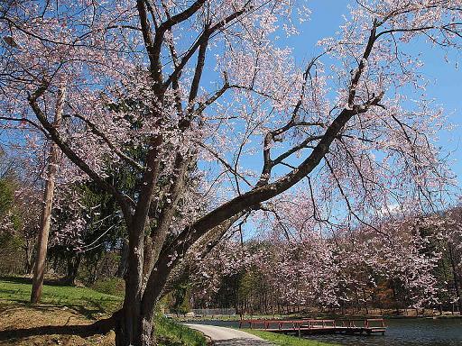 カメの公園 青空とサクラ_e0147716_154293.jpg