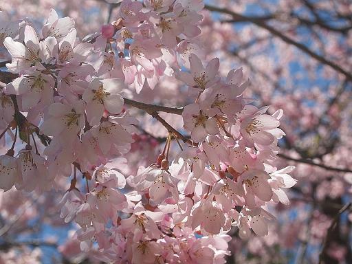 カメの公園 青空とサクラ_e0147716_161820.jpg