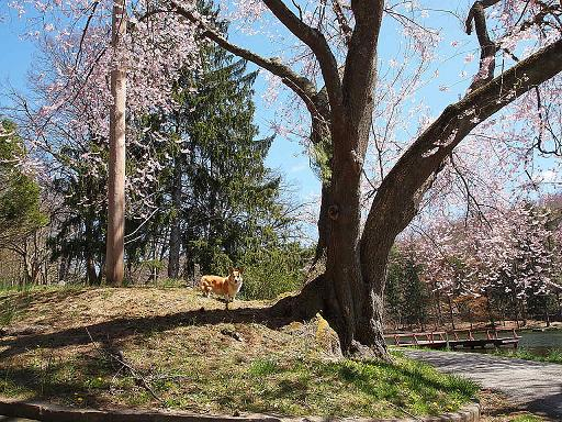 カメの公園 青空とサクラ_e0147716_165349.jpg