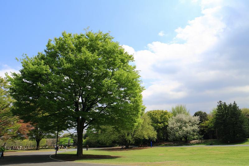 昭和記念公園の木々の緑が綺麗です_f0044056_8384331.jpg